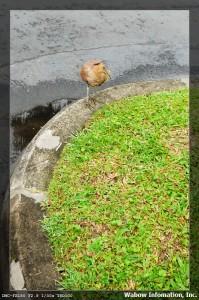 不知名的小鳥 1
